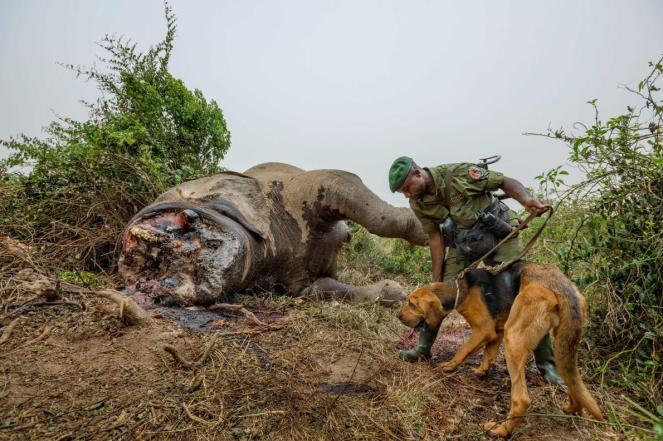 elephant-poaching-adapt-1190-1