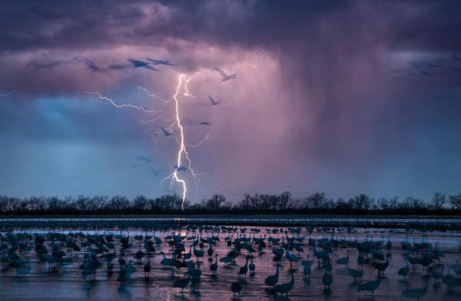 Khi một cơn bão chiều chiếu sáng bầu trời gần sông Wood River, Nebraska, khoảng 413,000 con sếu đồi cát đến để sinh sống trong vùng nước nông của sông Platte River. Chụp bởi Randy Olson