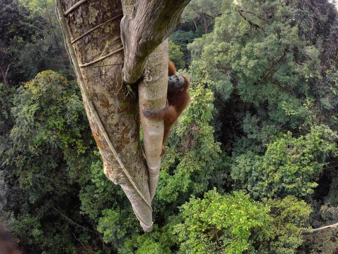 orangutans-adapt-1900-1