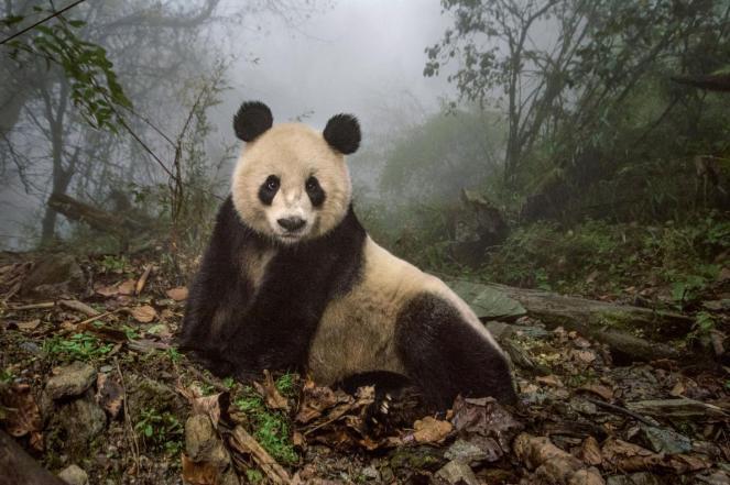 panda-adapt-1190-1