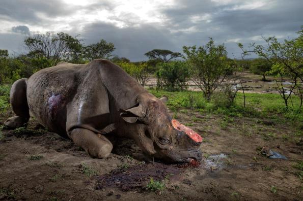 rhino-poaching-adapt-1190-1